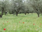 The season's first poppies had bloomed in the olive grove.