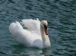 Its swans strut.